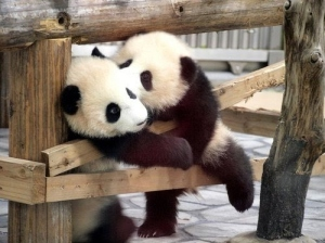 cute-kawaii-.-kiss-lovely-panda-pandas-Favim.com-82083